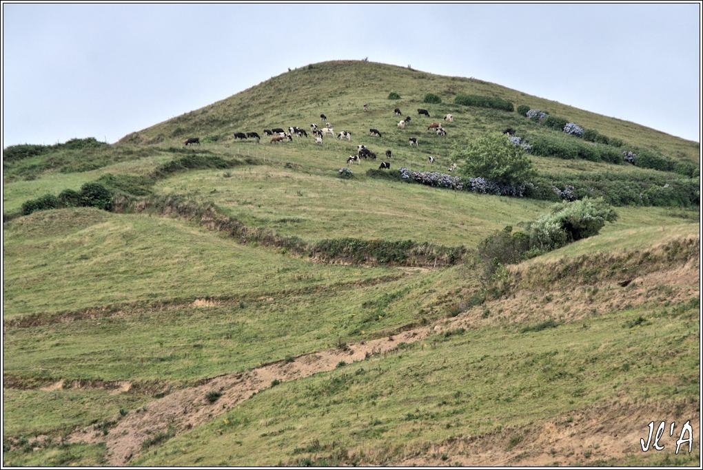 10 jours aux Acores (août 2013) - Page 2 J04-051%20vaches%20alpinistes%20A43544