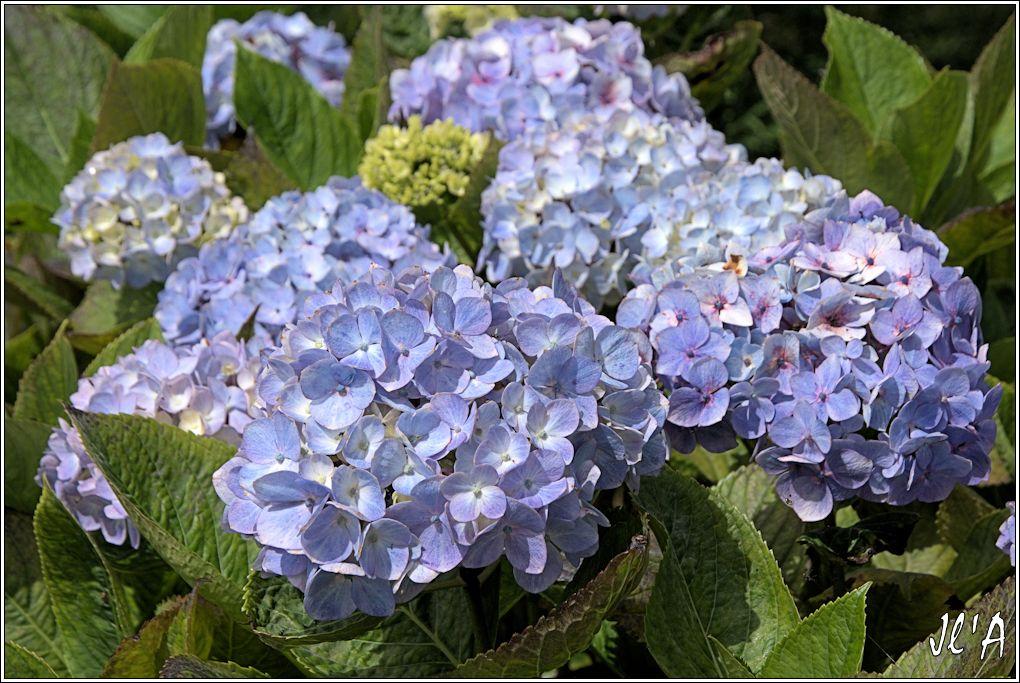 10 jours aux Acores (août 2013) J02-124%20hortensia%20bleu%20Hydrangea%20macrophylla%20A43249