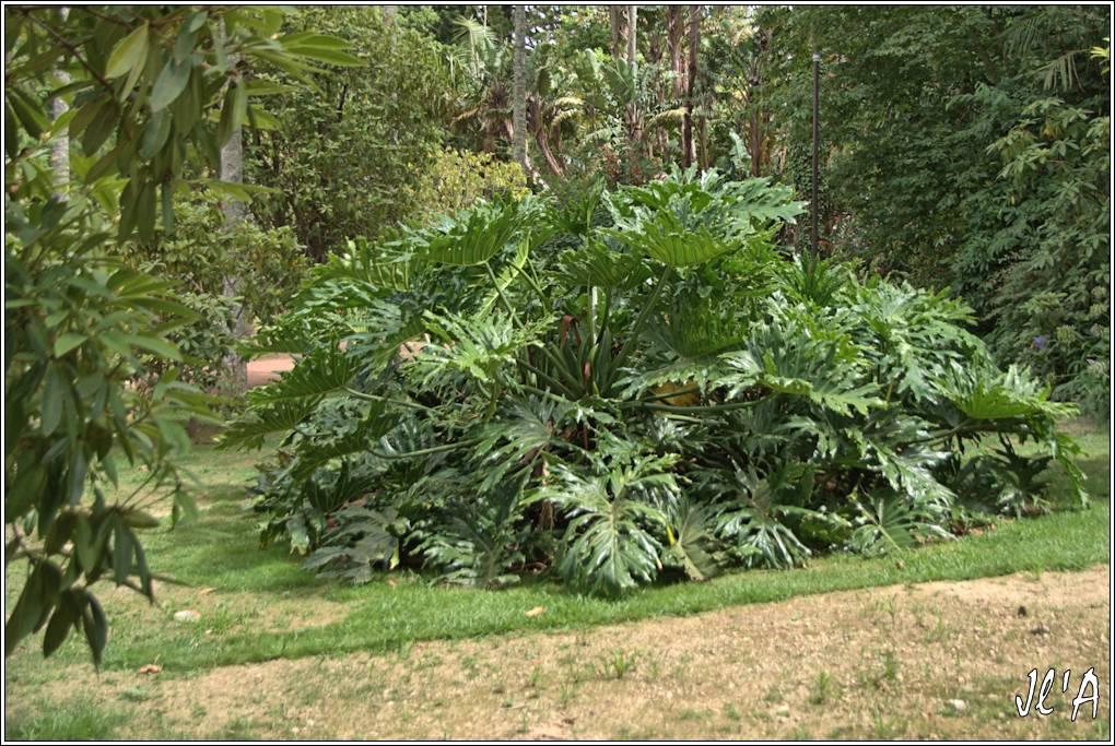 10 jours aux Acores (août 2013) - Page 2 J03-370%20Philodendron%20S20V4967