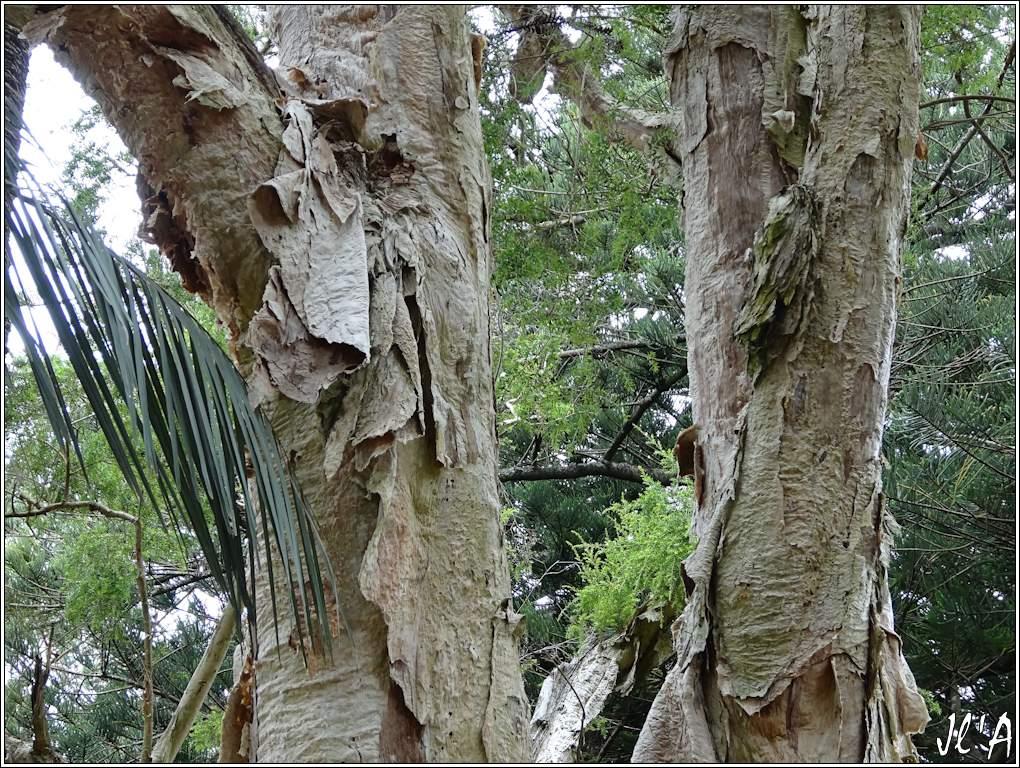10 jours aux Acores (août 2013) J02-050%20Melaleuca%20linariifolia%20S20V4776
